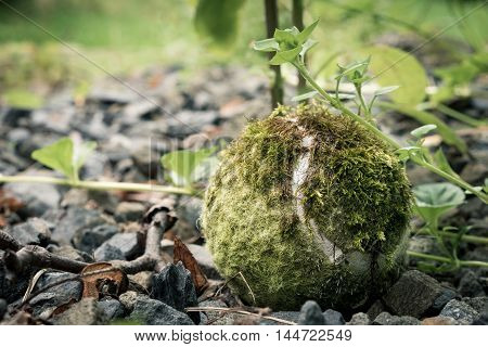 Old tennis ball is reclaimed by nature