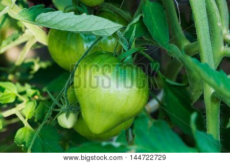 Green tomatoes ripen on a branch in the greenhouse on the farm