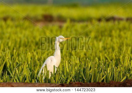 Cattle Egret in a farm in Bahrain