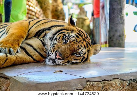 tiger in nature and Thailand, a tiger sitting in a zoo, national parks