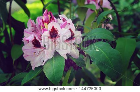 lilac bright fresh rhododendron flower closeup in a park