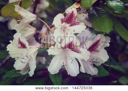 white bright fresh rhododendron flower closeup in a park