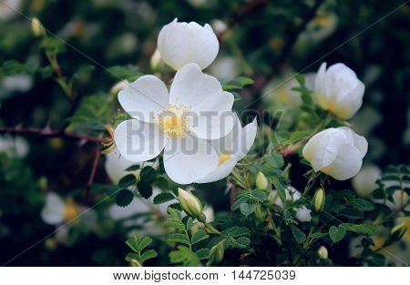 white flower of fresh roses, rose bush