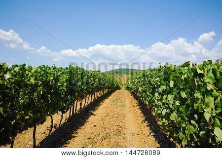 Tuscany vineyards on the hills in the Italy, harvest