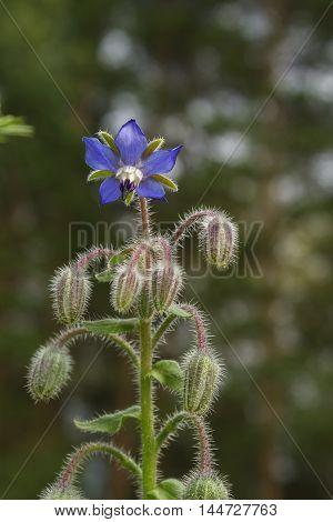 Borago flower Borago officinalis in the garden with buds