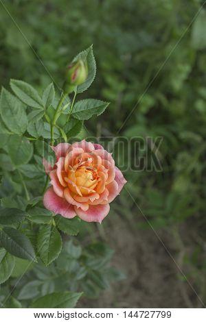 Delightful peach floribunda rose bush named Briosa in the garden. Blooming in spring and summer. Garden landscape