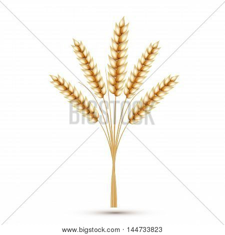 Wheat ears isolated on white background. Vector illustration.