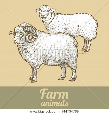 Cattle sheep and ram. Series vector illustration of farm animals. Style vintage engraving.