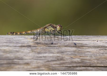 Common Darter (Sympetrum striolatum) female resting on a Beam