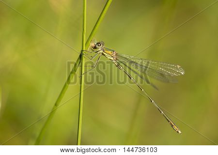 Western Willow Spreadwing (Lestes viridis) perched on a Grass-Stalk