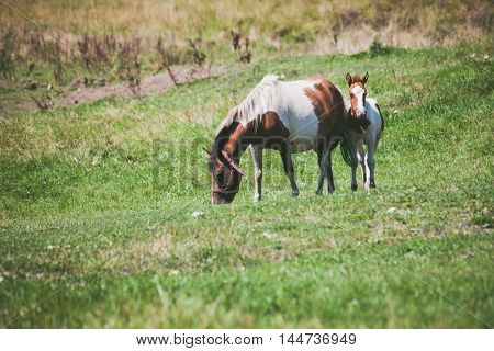 mountain mare and foal on pasture