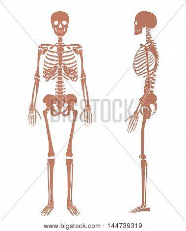 Human skeleton bone anatomy silhouette set. face and profile