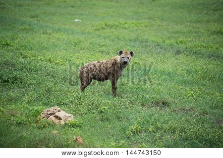 Spotted hyena watches alertly in Serengeti plains