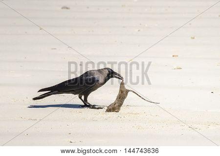 Crow with a dead rat on the beach on Zanzibar Tanzania