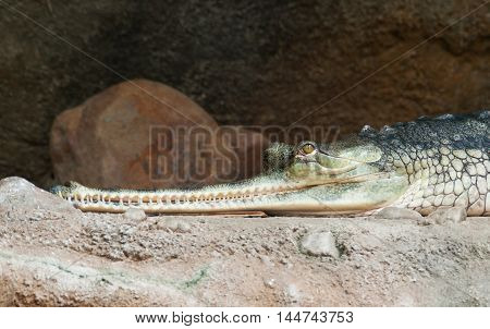 Head of Gharial - Gavialis gangeticus - critically endangered in IUNC Red list