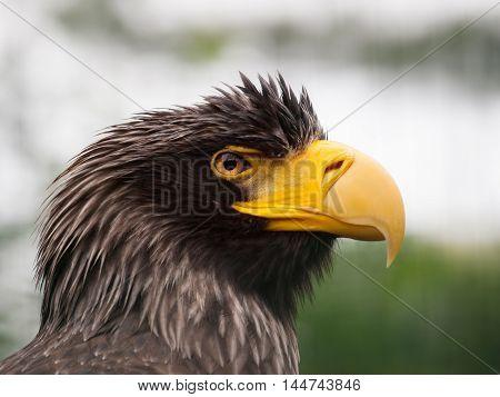 Portrait of Stellers sea eagle - Haliaeetus pelagicus one of the largest of sea and fish eagles