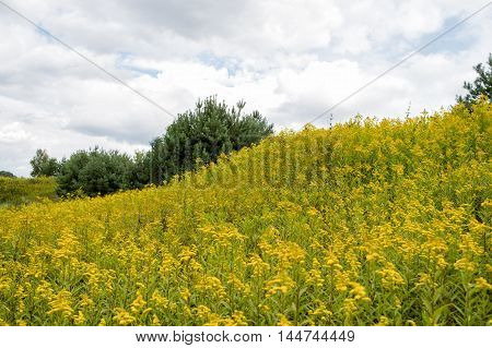 Meadow Of Yellow Summer Flowers