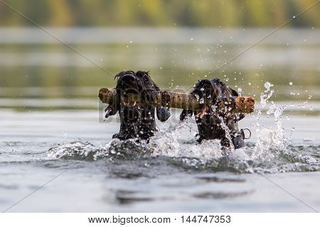 Two Black Colored Standard Schnauzer In Water