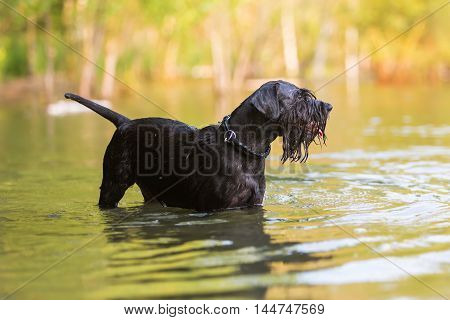 Black Colored Standard Schnauzer In Water