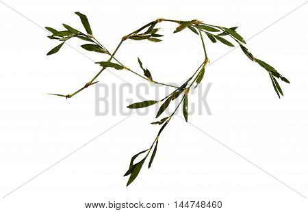 dry knotweed terry carved leaf grass isolated on white