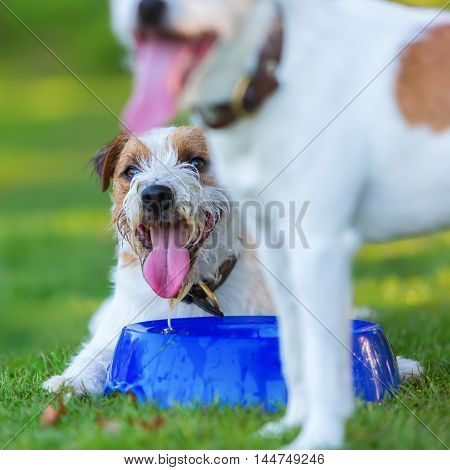 Two Parson Russell Terrier On The Meadow