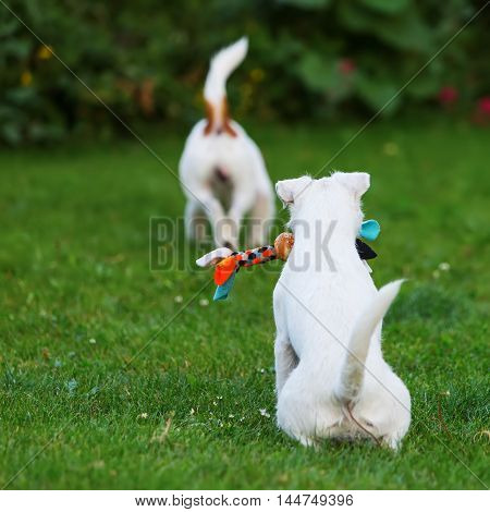 Two Parson Russell Terrier In The Garden