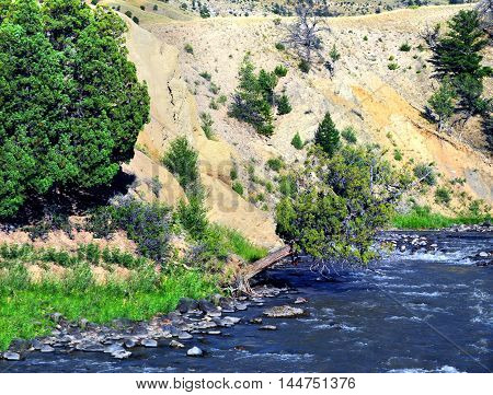 Lone cedar tree illustrated tenacity as it clings to the hillside of a river in Yellowstone National Park in Wyoming.