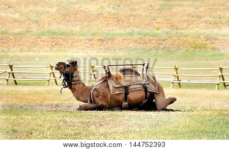 Camel lays and await its rider. It is wearing a saddle and harness and sits in a wooden corral.
