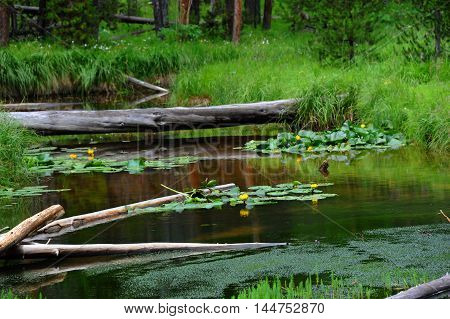 Logs lay across stream connecting one grassy tuft to another. Waters are run offs from Yellowstone Lake in Yellowstone National Park. Yellow water lillies bloom and are reflected on waters.