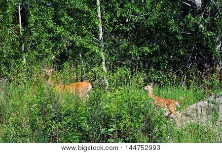 Doe pauses to look for danger as she leads her baby to the edge of the woods. Both are walking in the mountains of Paradise Valley Montana.