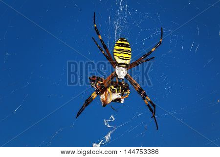wasp spider - Argiope bruennichi with his prey