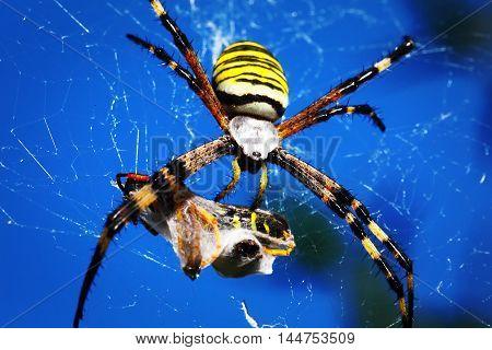 wasp spider - Argiope bruennichi with his prey