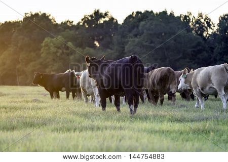 A group of heifers walking to the left into a sun flare from sunset
