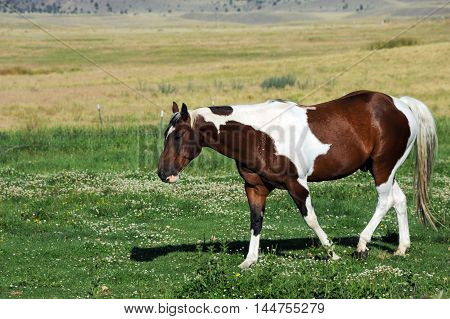 Mixed color horse walks across pasture in Paradise Valley Montana.