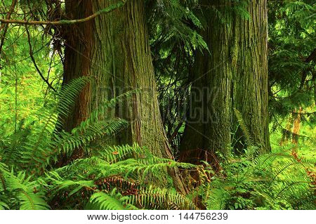 a picture of an exterior Pacific Northwest forest with  Western red cedars and ferns