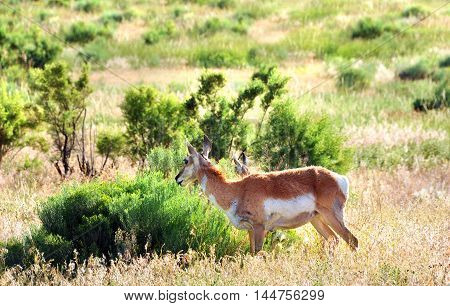 Antelope feeds among the scrubby vegetation on a mountain in Yellowstone National Park.