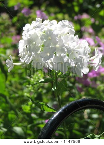 Beautiful White Phlox In Sunlight