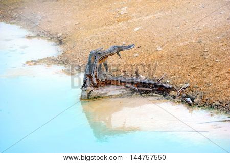 Rotten stump of a tree resides in Palette Springs in Norris Geyser Basin in Yellowstone National Park. Aqua water surrounds it.