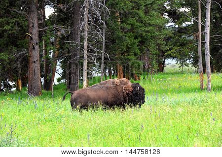 Closeup of buffalo in Yellowstone National Park. He is sanding belly deep in a field of grass and wildflowers.