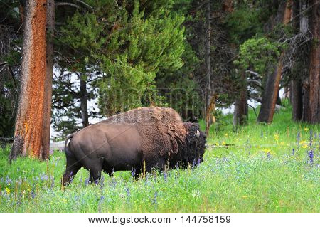 Bison roams a meadow filled with wildflowers in Yellowstone National Park. His head is up and he is moving forward.