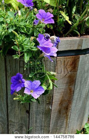 Purple Petunia blooms spill down the side of a wooden barrel in a garden in Montana.