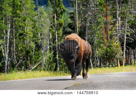 Shaggy bison walks in the center of the highway in Yellowstone National Park in Wyoming. Forest fills in background.