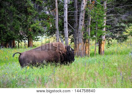 Buffalo moves slowly through belly deep wildflowers and tall grass in Yellowstone national Park. Forest surrounds him in background.