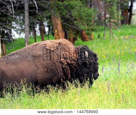 Close up image of a buffalo in Yellowstone National Park. He is standing in a glade of tall grass.