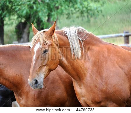 Closeup of a chestnut saddle horse. Horse is standing in a group within a corral.