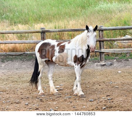 Lone Paint horse stands in rustic corral in Happy Valley Montana.