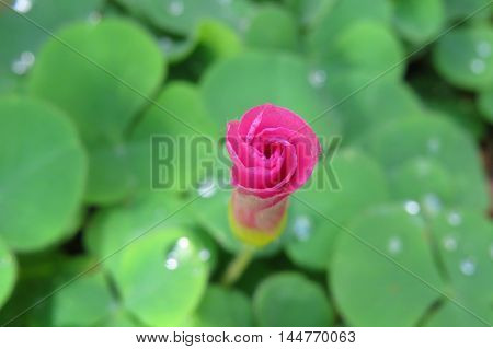 Pink flower petals unfurling after the rain