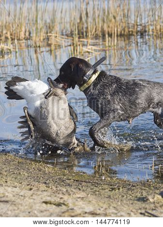 A German Wirehair with a Canada Goose