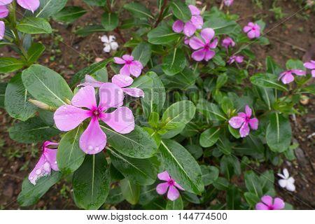 Purple Vinca flower with raindrop on ground.