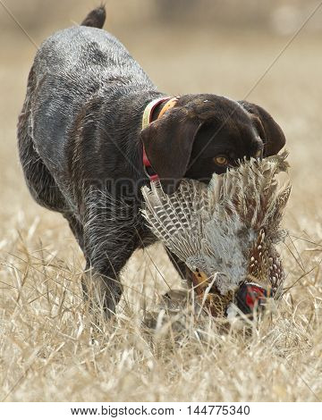A hunting dog with a rooster pheasant